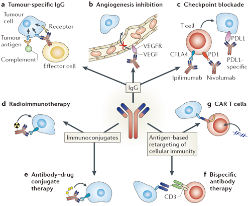 Machanisms of antibody-based cell killing