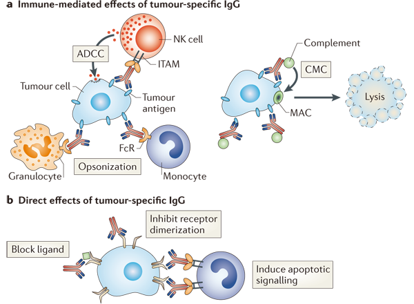 Mechanisms of antibody directed cell killing