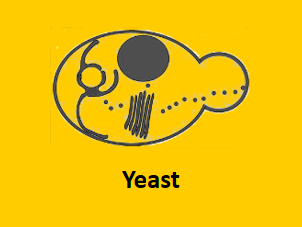 yeast protein expression system