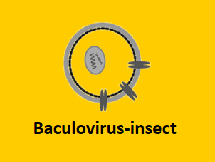 baculovirus insect cell protein expression system